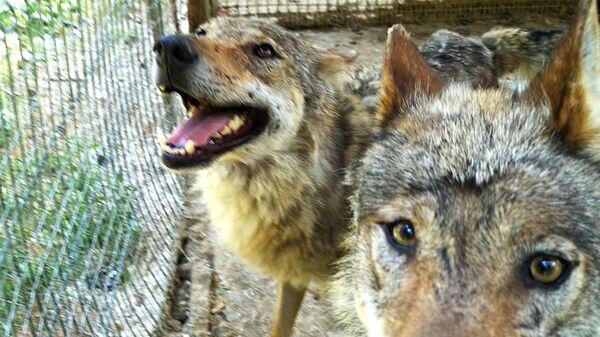 Волки в мини-зоопарке Кекавиняс личи Игоря Малинаускаса - Sputnik Латвия