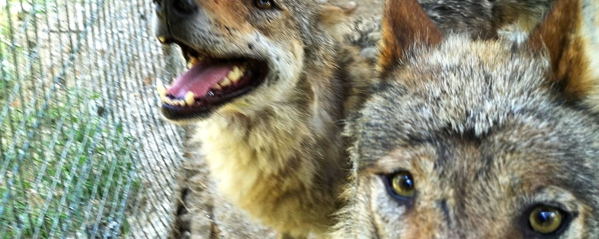 Волки в мини-зоопарке Кекавиняс личи Игоря Малинаускаса - Sputnik Латвия, 1920, 17.06.2021