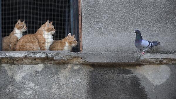 Кошки смотрят на голубя из окна дома в Бухаресте, Румыния - Sputnik Latvija