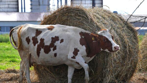 Чипирование сельскохозяйственных животных в Приморье - Sputnik Латвия