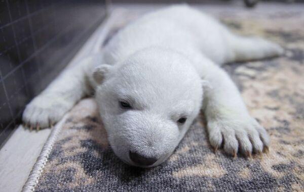 Baltā lāča mazulis - Sputnik Latvija