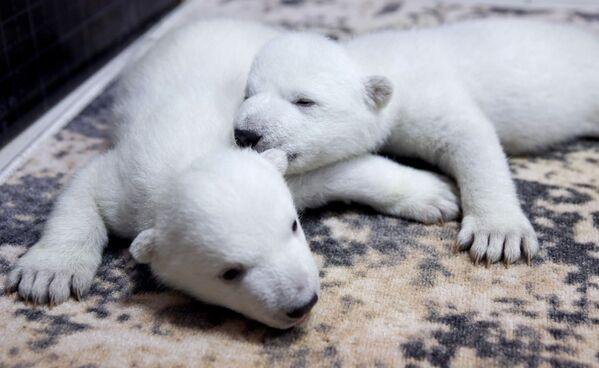 Baltā lāča mazuļi Gelendžikas safari parkā - Sputnik Latvija