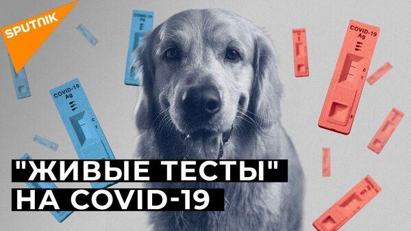 Собак научили распознавать инфицированных COVID-19: как это работает - Sputnik Latvija