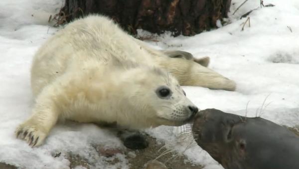 В Рижском зоопарке родился тюлененок - Sputnik Латвия