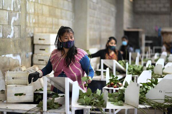 Женщины упаковывают розы на продажу в преддверии Дня святого Валентина в деревне Лома-Альта, Сан Хуан Сакатепекес, Гватемала - Sputnik Latvija
