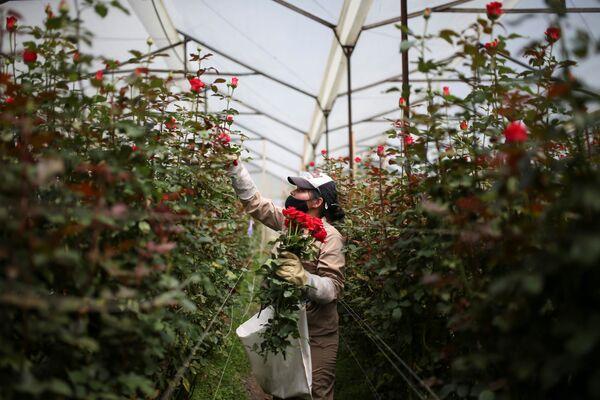 Сотрудник цветочной фермы собирает цветы для экспорта в преддверии Дня святого Валентина в Токансипа, Колумбия - Sputnik Latvija