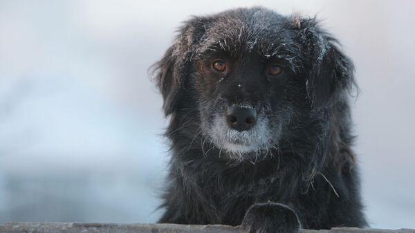 Дворовая собака в городе Тара Омской области в сильный мороз - Sputnik Latvija