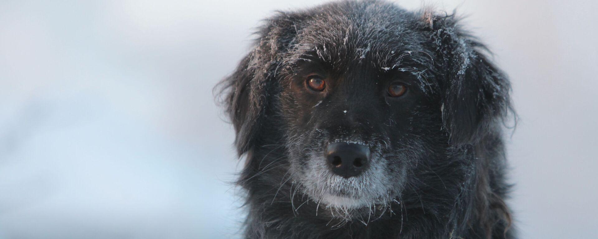 Дворовая собака в городе Тара Омской области в сильный мороз - Sputnik Latvija, 1920, 24.09.2021