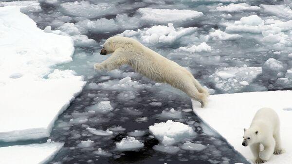 Белые медведи на льдине в Северном Ледовитом океане - Sputnik Latvija