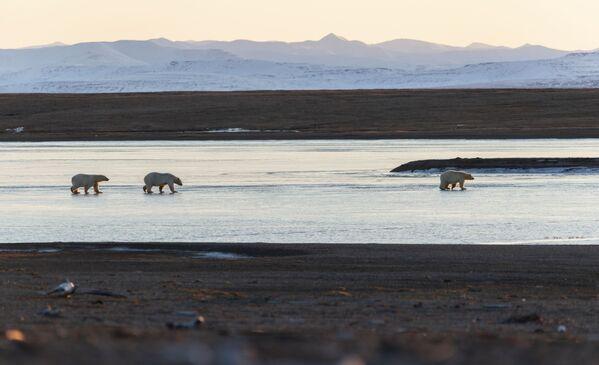 Baltie lāči Čukču pussalā - Sputnik Latvija