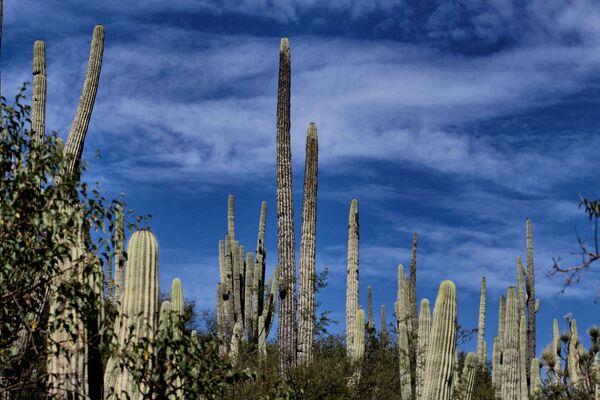 Gigantisku kaktusu mežs atrodas Teukānas biosfēras rezervātā Pueblo štatā, Meksikā. Pirmos 30 dzīves gadus tie aug palēnām, pēc tam strauji stiepjas garumā un sasniedz 15 metru augstumu - Sputnik Latvija