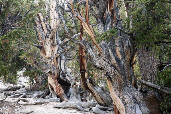 Sens priežu mežs Kalifornijā, Inio Nacionālajā parkā - Sputnik Latvija