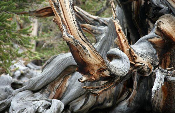 Senākais koks Kalifornijas mežā ir Metuzāls, tā vecums pārsniedz 4800 gadus. Tas ir viens no vecākajiem dzīvajiem organismiem pasaulē. Tā atrašanās vietu tur noslēpumā - Sputnik Latvija