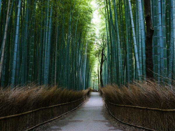 Sagano bambusa mežs Japānā, Kioto prefektūrā pazīstams kopš VIII gadsimta - Sputnik Latvija