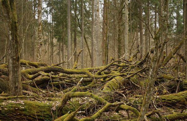 Belovežas gārša – unikāls sens mežs Baltkrievijā. Tajā neskarti saglabājušies pirmatnējie meži, kas reiz klāja Eiropas līdzenumu - Sputnik Latvija