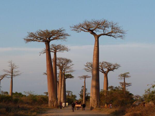 Baobabu aleja Madagaskarā. Daudzi no tiem jau pārsnieguši 800 gadu vecumu. Diemžēl koki mirst tūristu barbarisko uzbrukumu dēļ - Sputnik Latvija