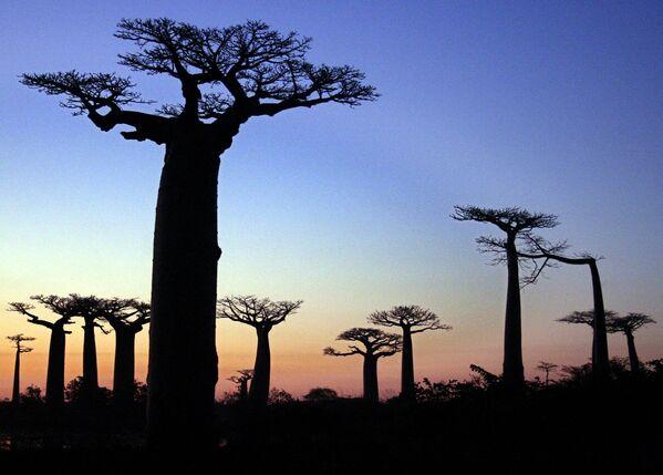 Aleju veido desmit seni, apmēram 30 m augsti baobabi. Reiz te auga biezi tropiskie meži. Baobabi izdzīvojuši vien brīnumainā kārtā - Sputnik Latvija