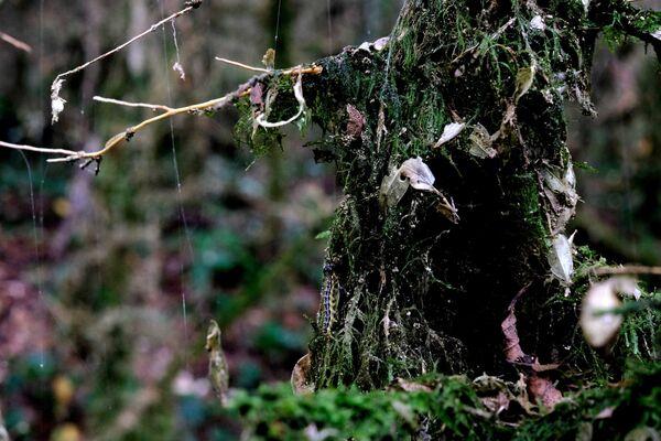 Īvju un buksusa birze – relikts Ahuna kalna austrumu nogāzē Sočos, ir īsts senās dabas piemineklis. To teju vai iznīcināja vaska kode, nejauši ievesta līdz ar augiem, ko iegādājās 2012. gadā, gatavojoties Olimpiskajām spēlēm - Sputnik Latvija