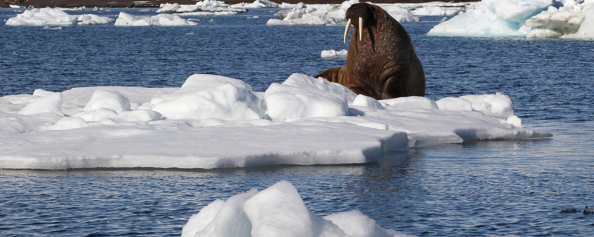 Морж на льдине у берегов одного из островов архипелага Земля Франца-Иосифа. - Sputnik Latvija, 1920, 28.03.2021