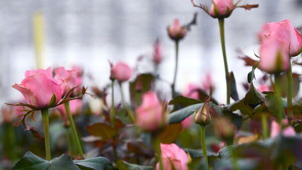 Выращивание голландских роз в тепличном комплексе в Новосибирске - Sputnik Латвия