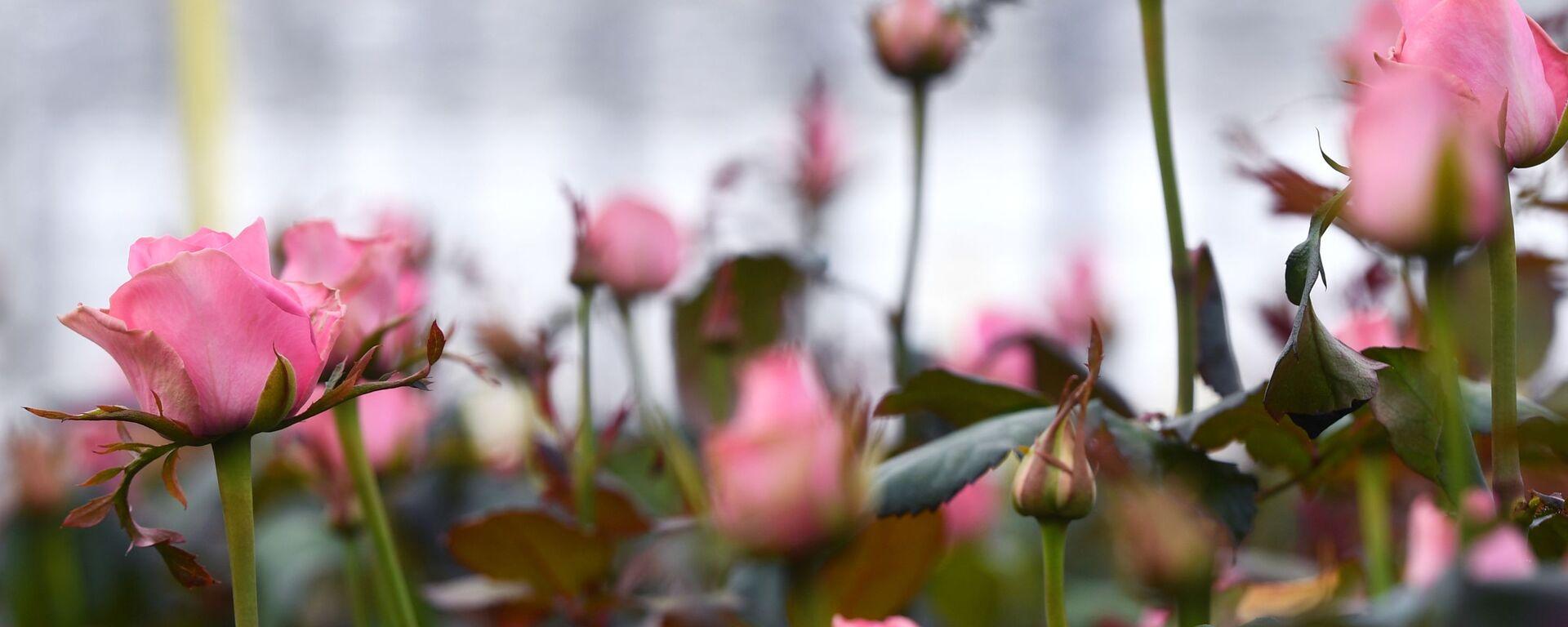 Выращивание голландских роз в тепличном комплексе в Новосибирске - Sputnik Латвия, 1920, 12.06.2021