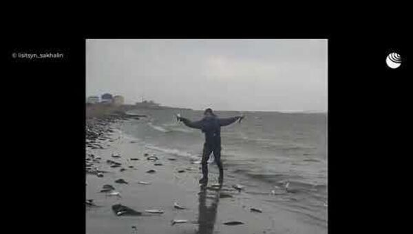 Тонны сельди выбросило на побережье Сахалина - Sputnik Латвия