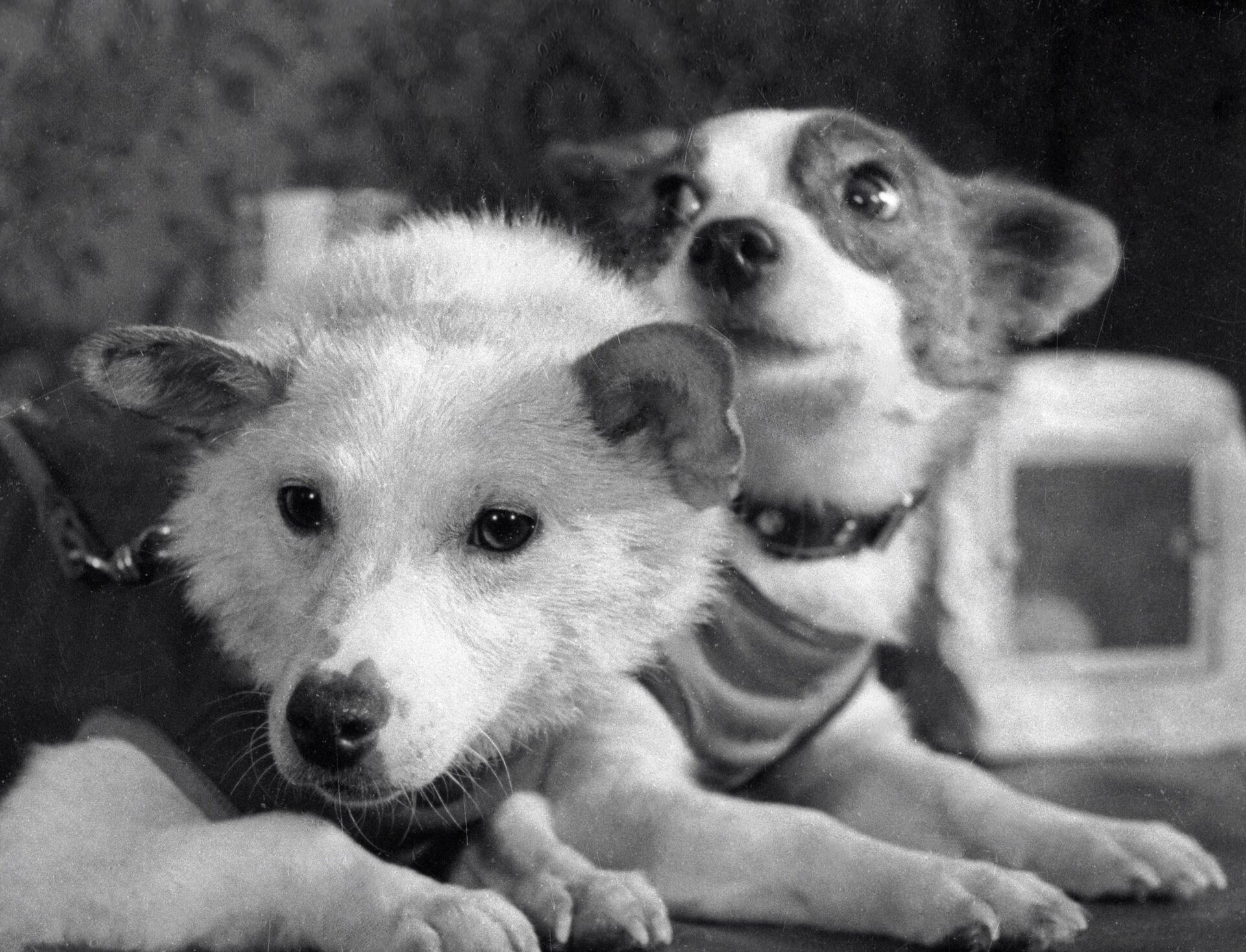 Четвероногие космонавты - собаки Белка и Стрелка после полета космического корабля-спутника с подопытными животными. - Sputnik Latvija, 1920, 01.06.2021