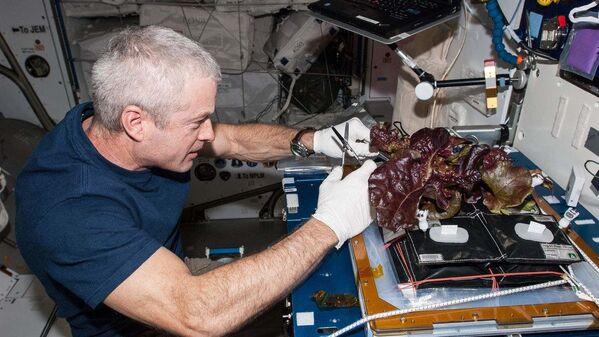 Amerikāņu astronauts Stīvens Svonsons vāc SKS audzētos salātus - Sputnik Latvija