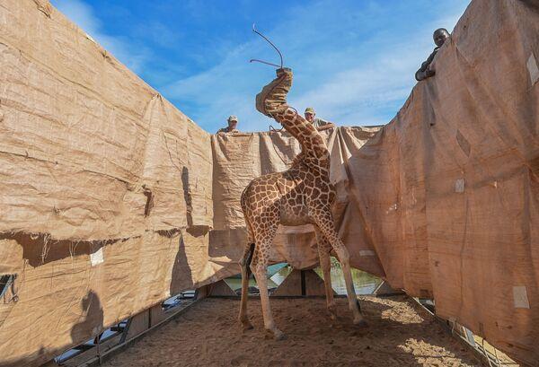 Uzvarētājs kategorijā Daba – amerikāņu fotogrāfs Amijs Vitāle. Žirafi pārved uz drošu vietu no pārplūdušas salas Kenijas rietumu daļā - Sputnik Latvija