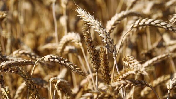 Уборка пшеницы в Краснодарском крае - Sputnik Latvija