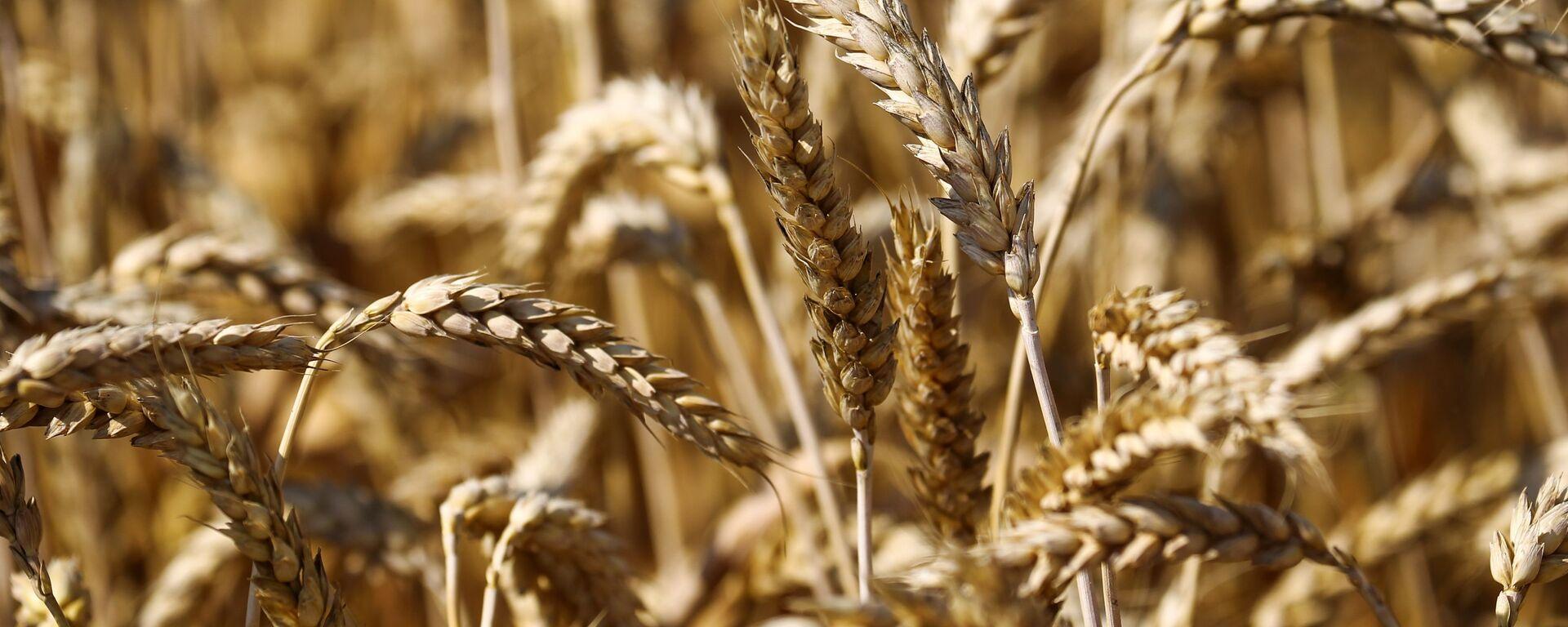Уборка пшеницы в Краснодарском крае - Sputnik Latvija, 1920, 25.05.2021