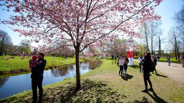 Погода располагает к созерцанию цветущей в парке Победы сакуры - Sputnik Латвия