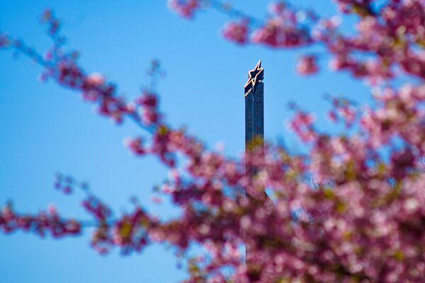 Uzvaras parkā Rīgā uzziedējušas sakuras - Sputnik Latvija