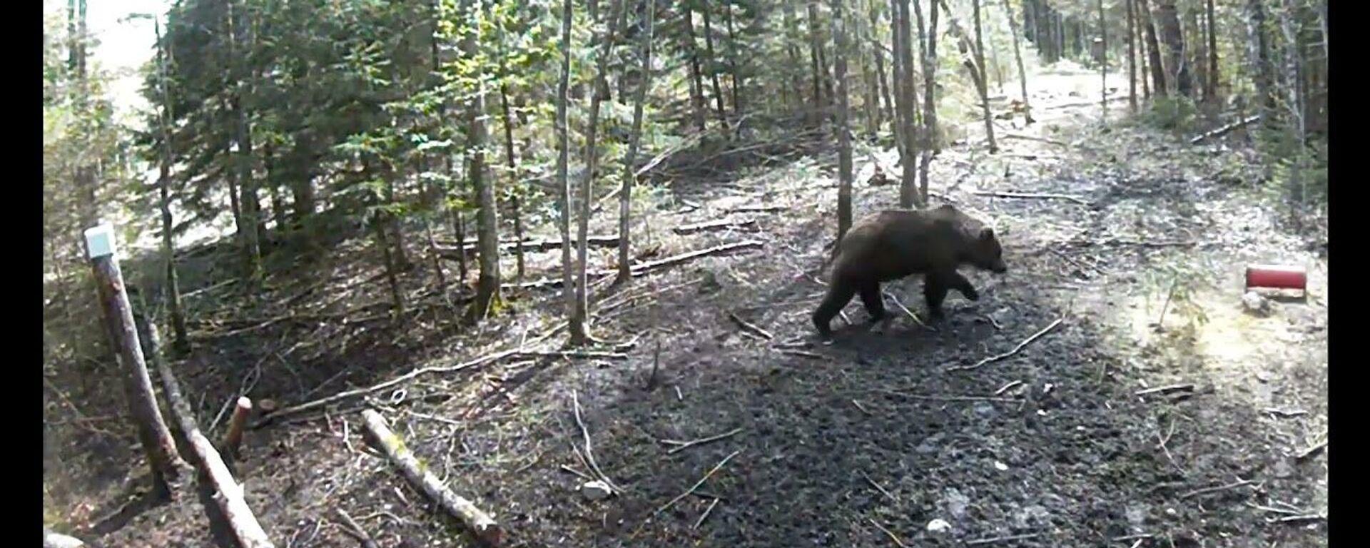 В Лиепайском крае был замечен бурый медведь - Sputnik Latvija, 1920, 12.05.2021