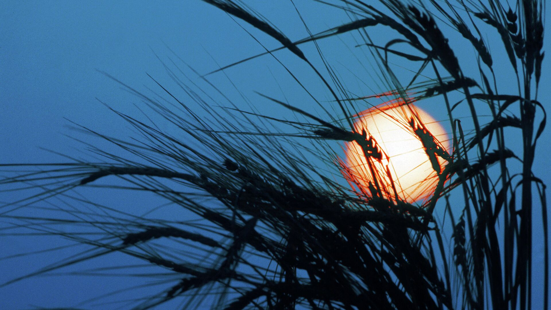 Луна освещает колоски на ржаном поле - Sputnik Латвия, 1920, 09.07.2021
