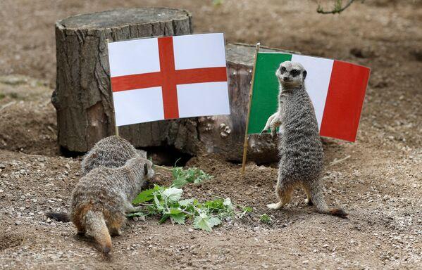 В лондонском зоопарке ZSL Сурикаты играют вместе с флагами Англии и Италии перед финалом Евро-2020 - Sputnik Латвия