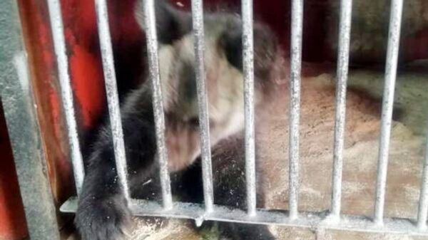 В Кемеровской области в цирке-шапито медведь напал на дрессировщицу - Sputnik Latvija
