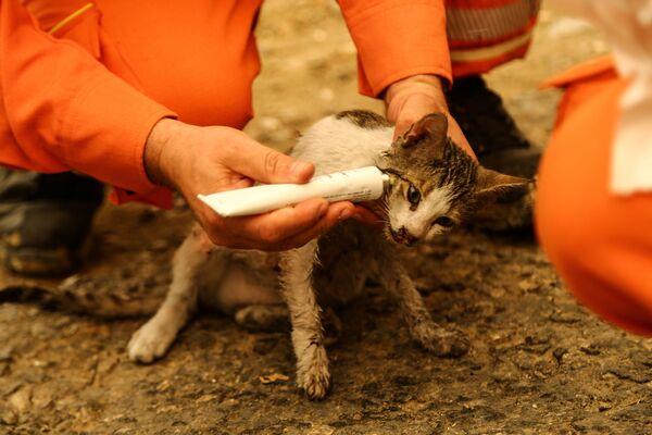 Brīvprātīgie ārstē dabas ugunsgrēkā cietušo kaķi. - Sputnik Latvija