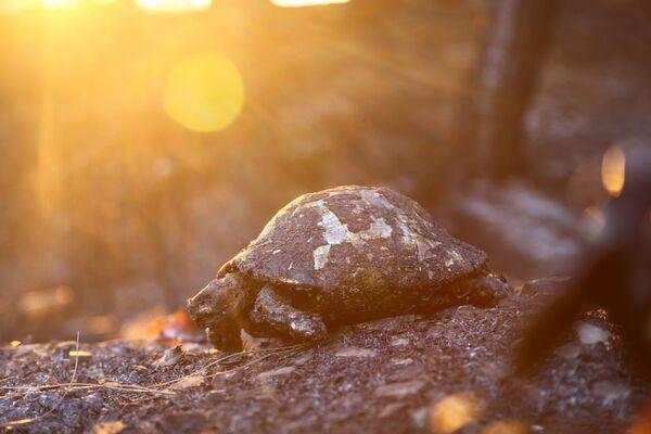 Manavgatas apkaimē notikušajā meža ugunsgrēkā bojā gājušā bruņurupuča mirstīgās atliekas. - Sputnik Latvija