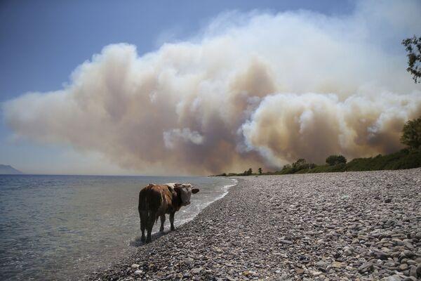 Govs pludmalē Bodrumas apkaimē - Sputnik Latvija