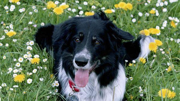 Rico (dog) - Sputnik Latvija