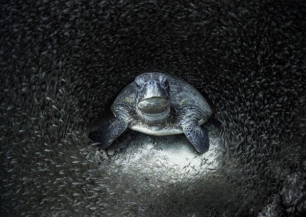 Galveno balvu un gada fotogrāfa titulu izcīnījusi Eimija Jana (Aimee Jan), kam izdevusies fantastiska zaļā bruņurupuča fotogrāfija stikla zivju barā. - Sputnik Latvija