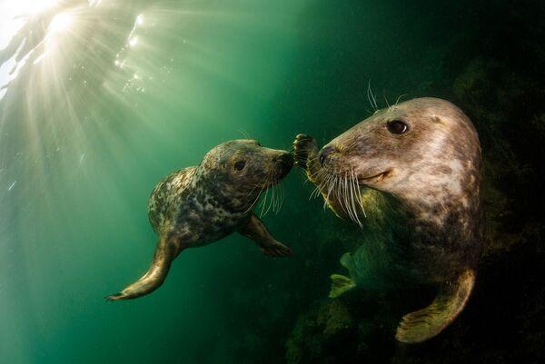 Pelēkais ronis jau gadu desmitiem ir aizsargājams dzīvnieks Lielbritānijā - Sputnik Latvija