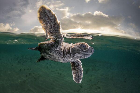 Metijs Smits (Matty Smith) izcīnījis trešo vietu konkursā Ocean Photographer of the Year 2021. Par viņa varoni kļuva nesen no olas izšķīlies bruņurupucēns paceļas no jūras dzīlēm, lai ieelpotu gaisu - Sputnik Latvija