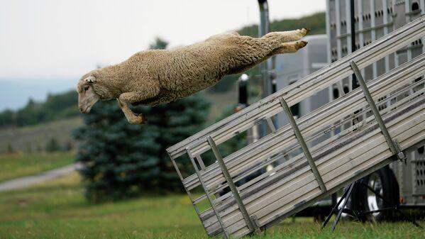 """Festivāls """"Aitu suņa pārbaude"""" Jūtas štatā. Populāras ganu suņu sacensības, kurās novērtē ganāmpulka kontroles iemaņas - Sputnik Latvija"""