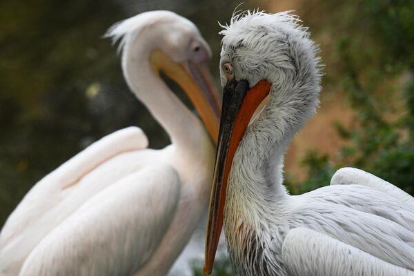 Sprogainais un sārtais pelikāns Maskavas zooloģiskajā dārzā - Sputnik Latvija
