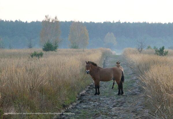 Дикие лошади в зоне отчуждения Чернобыльской АЭС - Sputnik Латвия