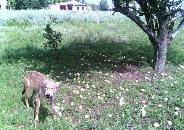 Волк в зоне отчуждения Чернобыльской АЭС - Sputnik Латвия