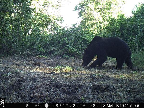 Бурый медведь в зоне отчуждения Чернобыльской АЭС  - Sputnik Латвия