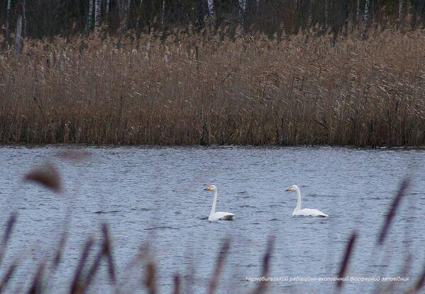 Лебеди в зоне отчуждения Чернобыльской АЭС  - Sputnik Латвия